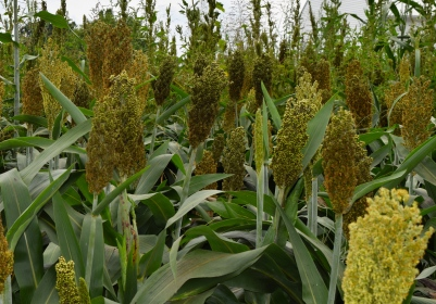 Sorghum - Version 2