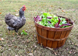 chicken greens fall garden