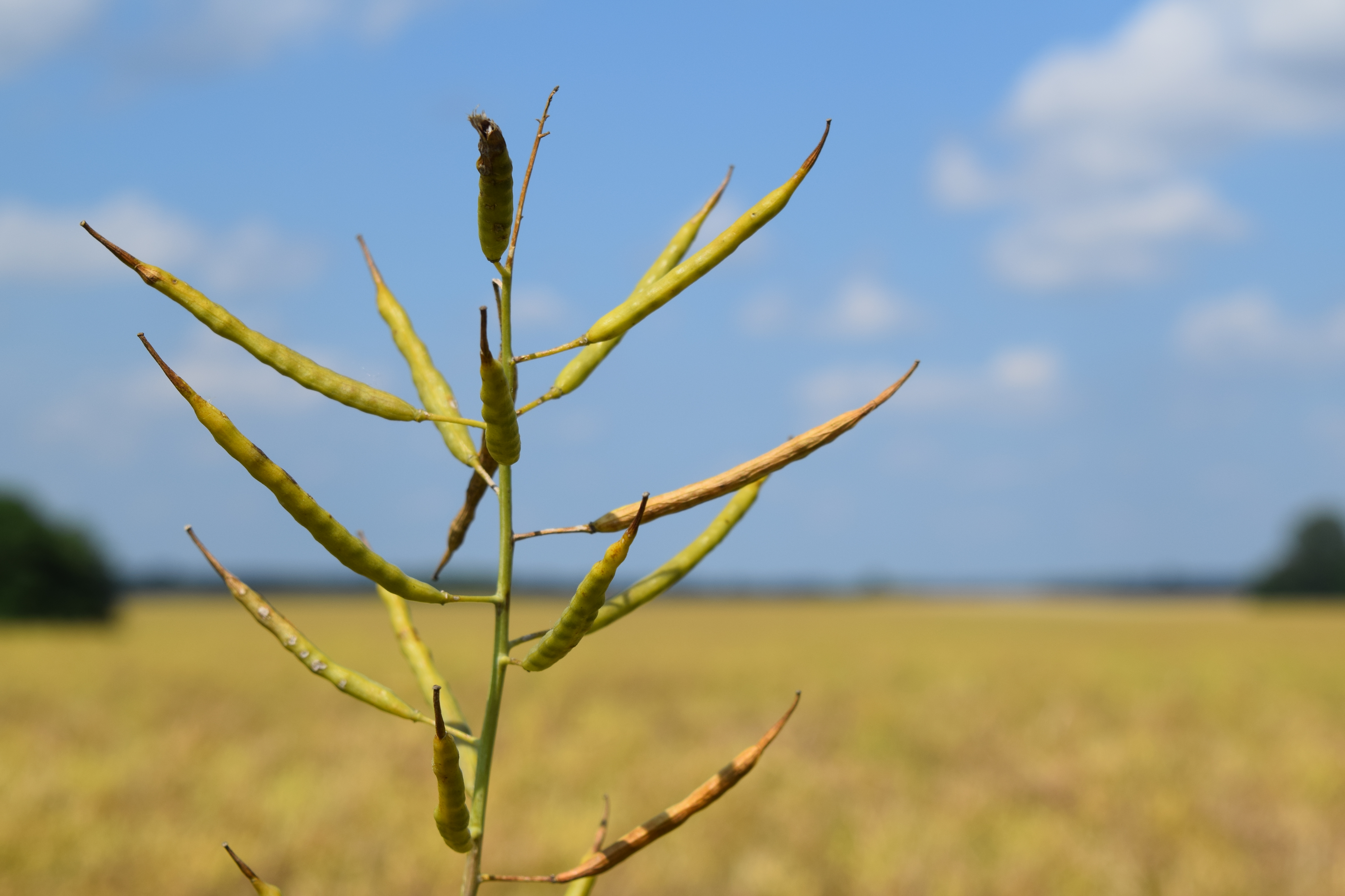 How Local Canola Crops Are Grownjudyschickens