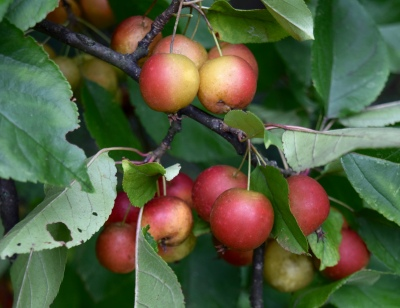 crab apple fall garden