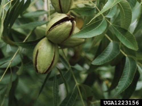 Pecan Picking in Mississippi (and recipes to go with them)@judyschickens